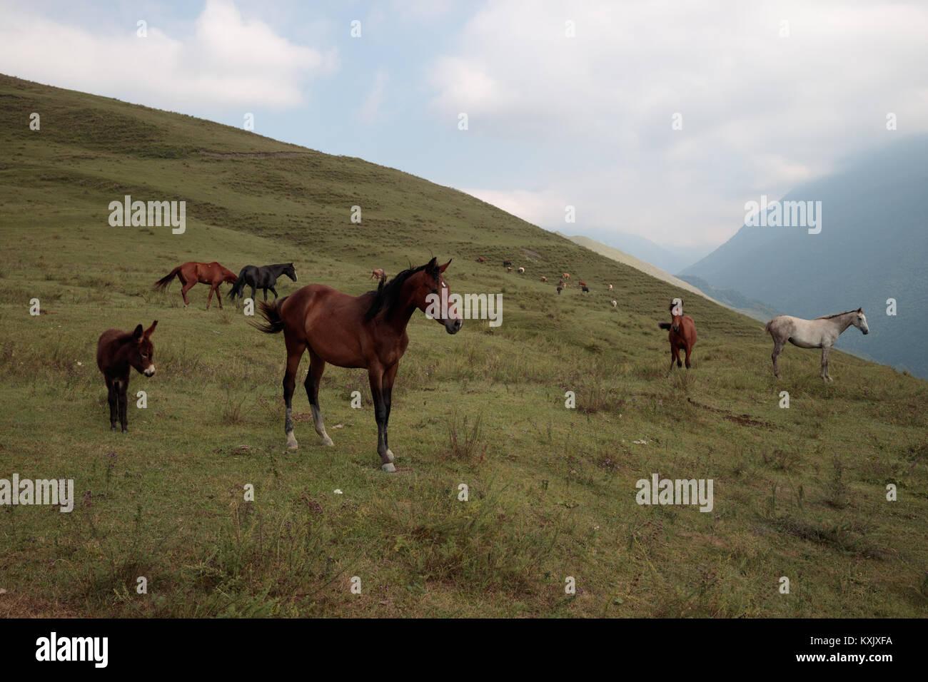 Mustang horses in Ingushetia mountains, free-roaming horses in North Caucasus - Stock Image