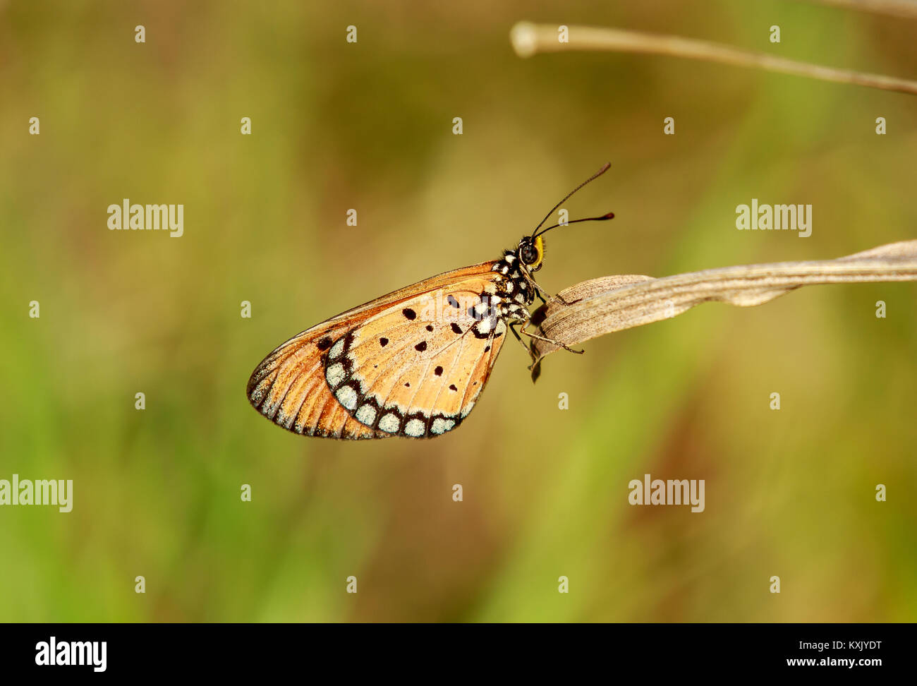 Acraea terpsicore, the tawny coster, is a small, 53–64 millimetres, leathery, winged butterfly which is common in - Stock Image