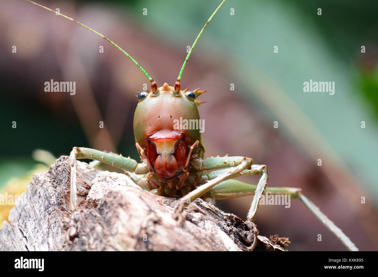 A dragon headed Katydid looks menacing at the camera. - Stock Image