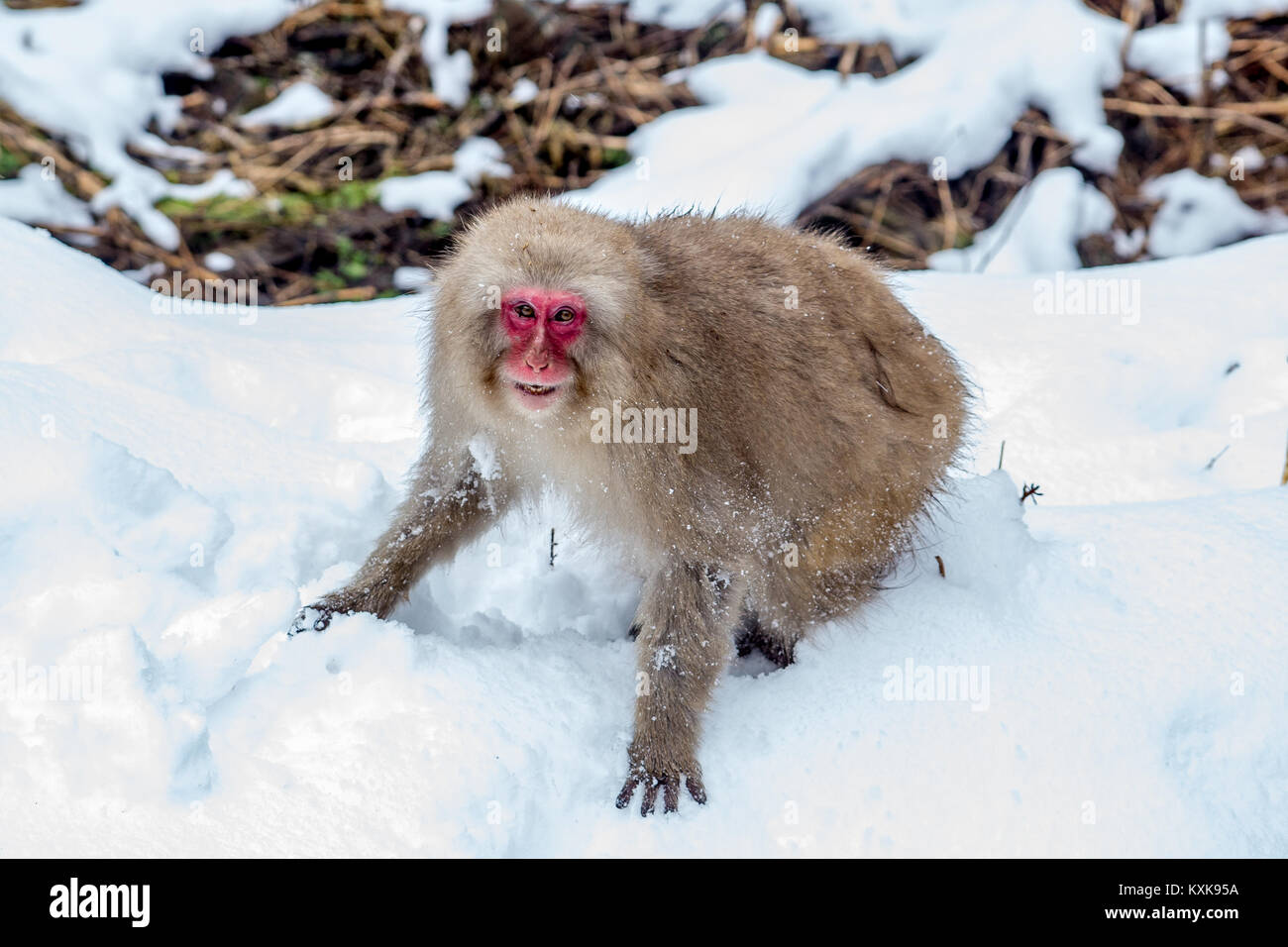 An older Japanese Macaque, or snow monkey, snarls at another monkey after a brief fight.  These monkeys are the - Stock Image