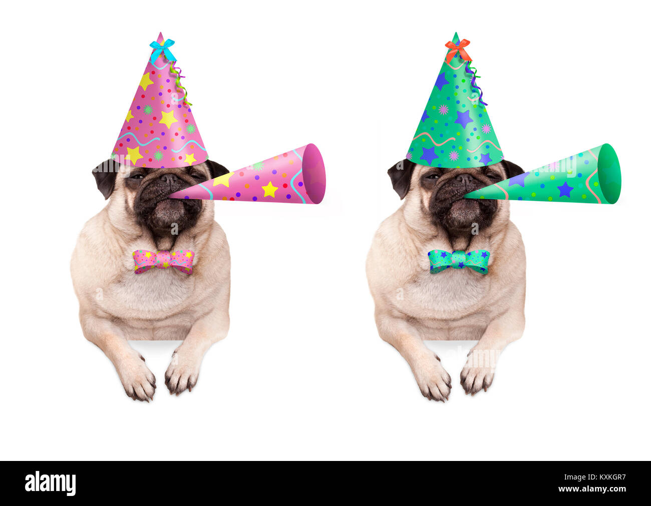 adorable pug puppy dog hanging with paws on blank banner, wearing colorful birthday party hat and blowing horn, - Stock Image