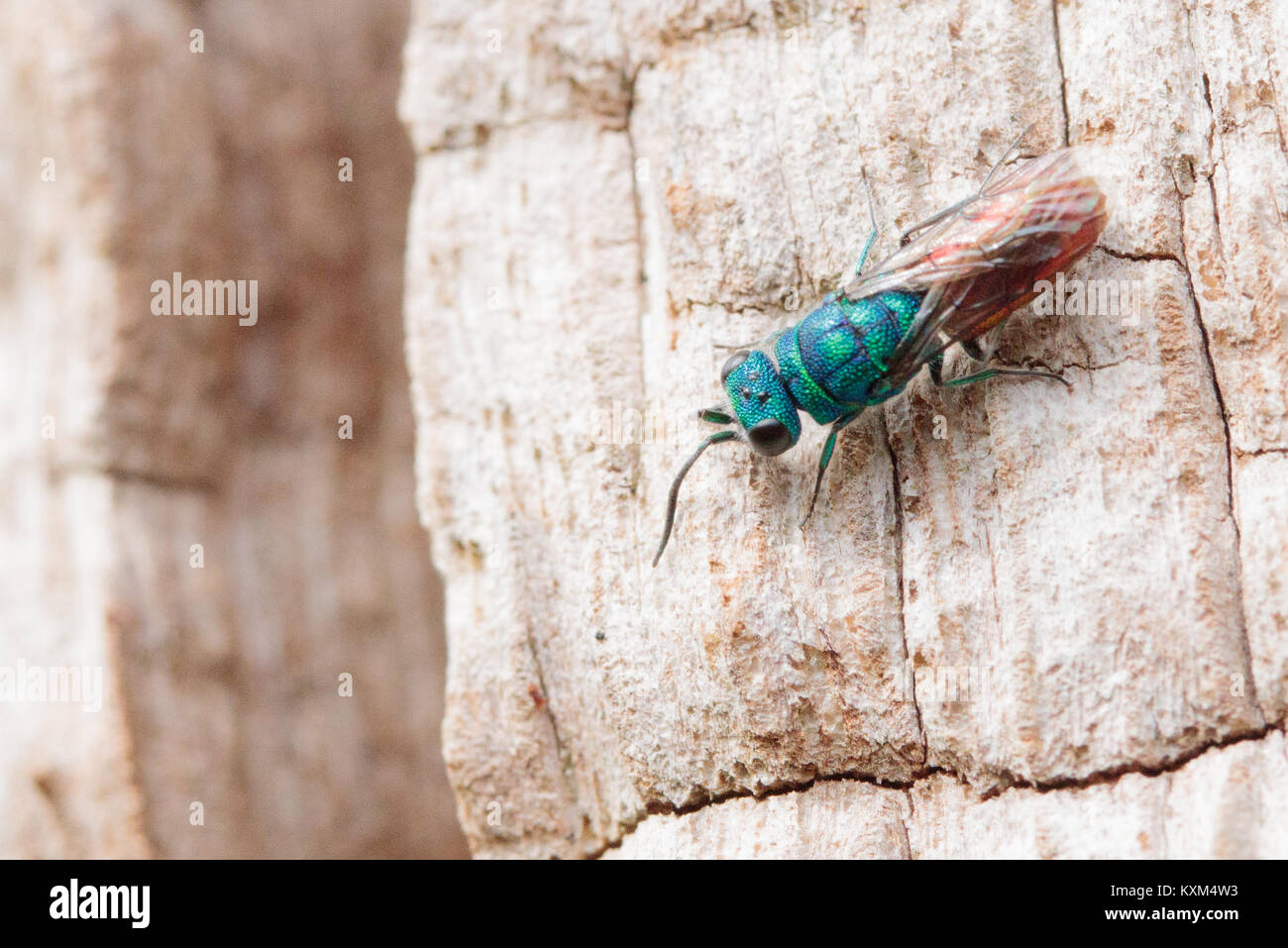 Ruby-tailed wasp (Chrysis sp.) exploring surface of dead oak tree. Surrey, UK. - Stock Image