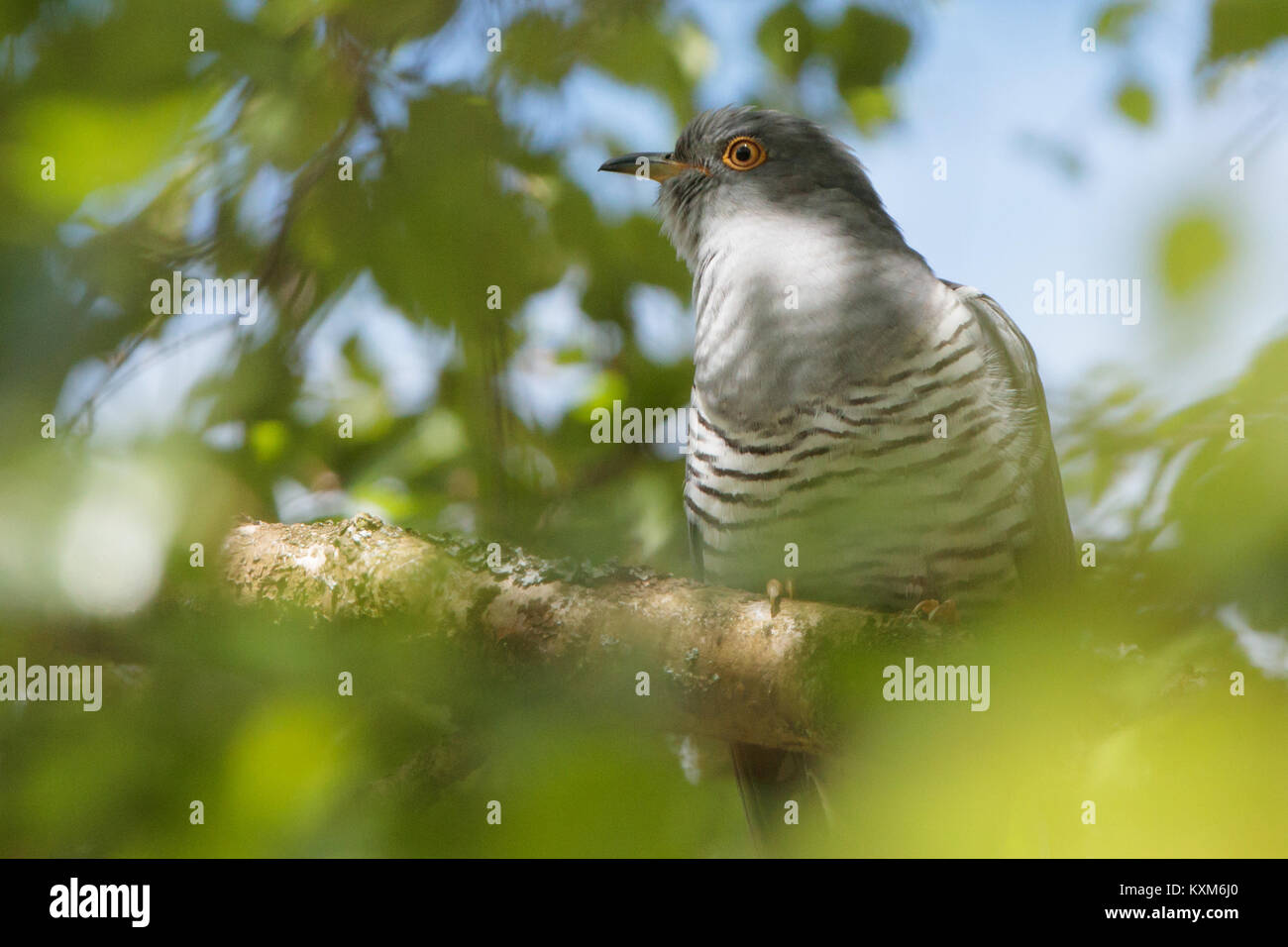 Cuckoo (Cuculus canorus) perched in tree. Surrey, UK. - Stock Image