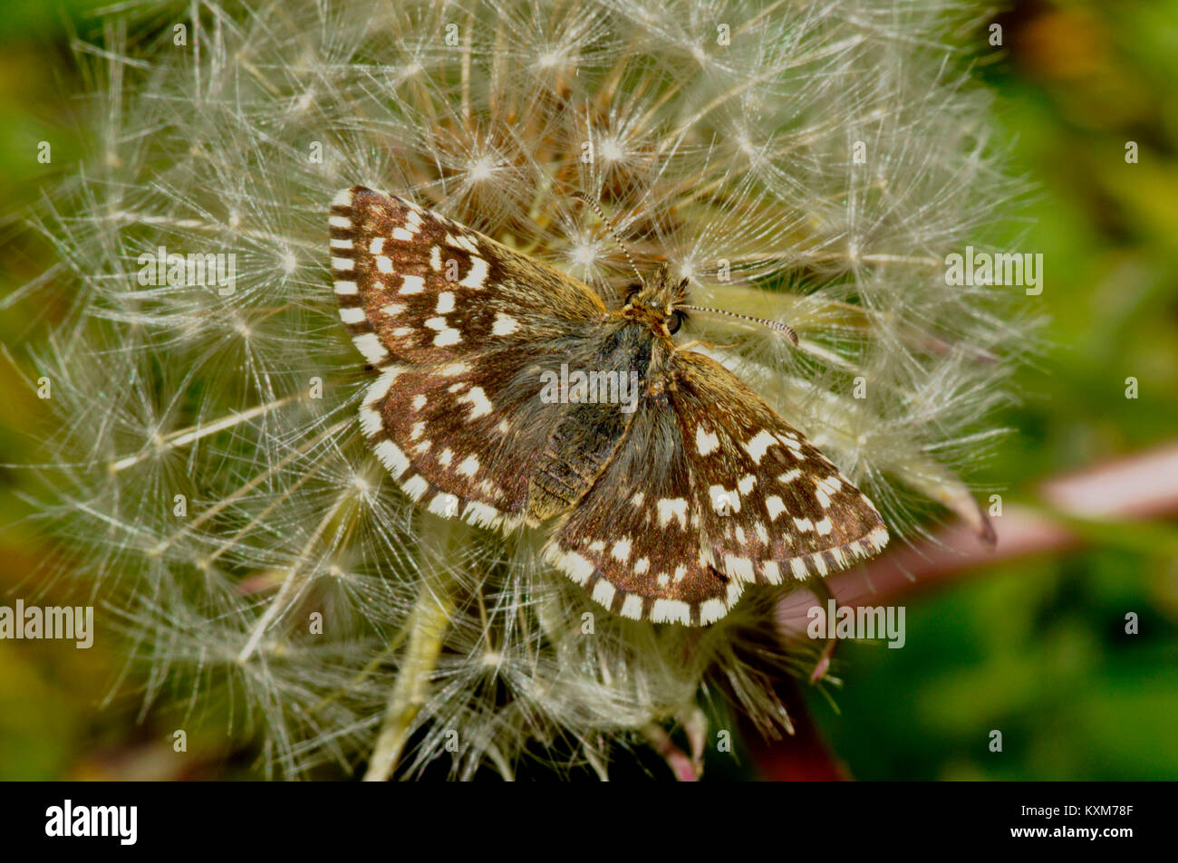 Grizzled Skipper,'Pyrgus malvae', butterfly found on chalk downland, Wiltshire,UK - Stock Image