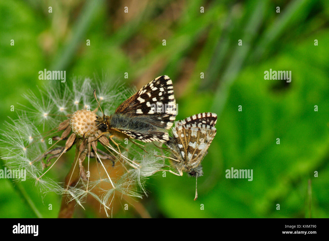 Grizzled Skipper,'Pyrgus malvae', butterfly found on chalk downland,mating pair on dandylion, Wiltshire,UK - Stock Image
