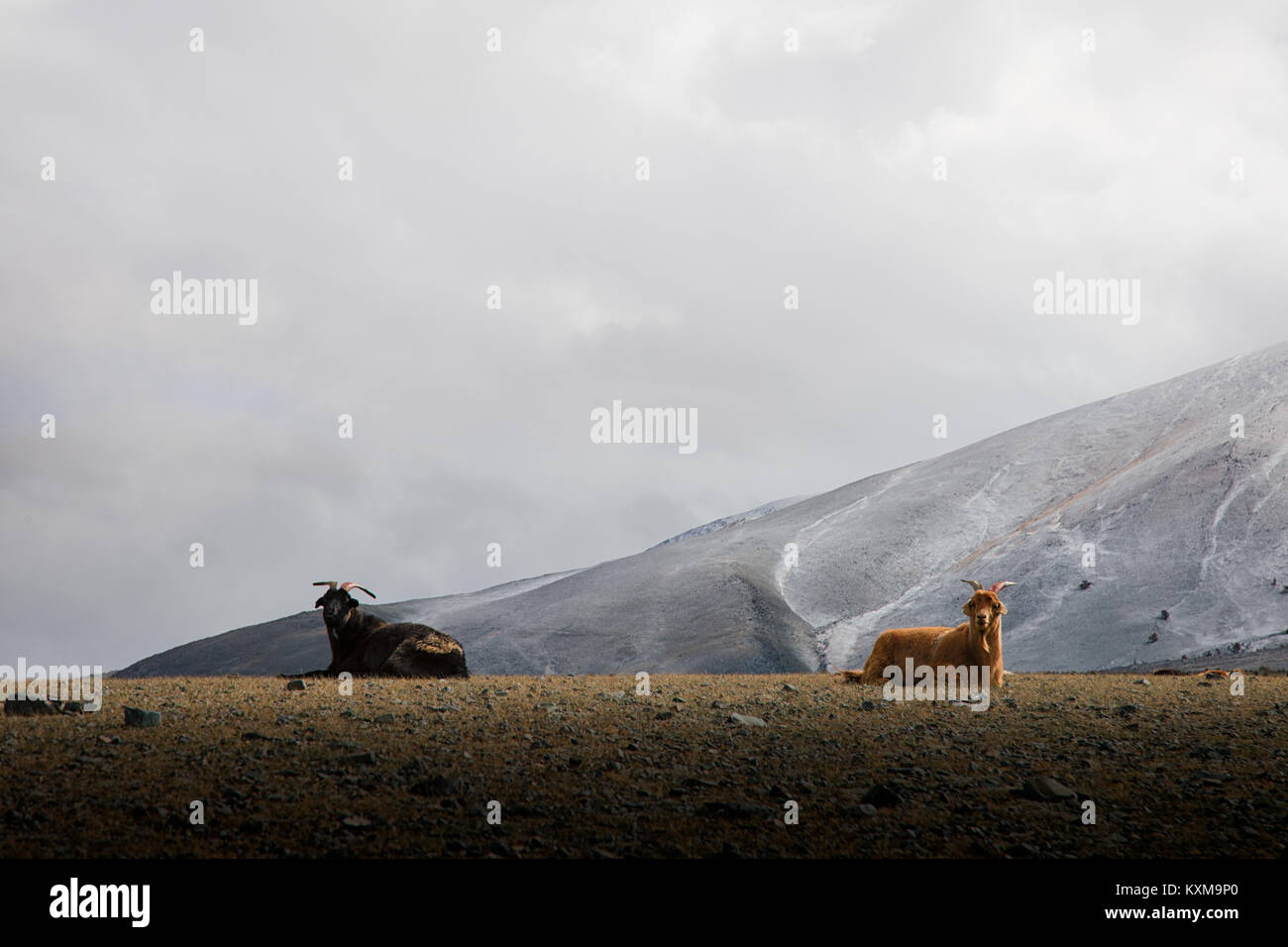 Two goats resting black and brown goats lying winter Mongolia snowy mountains cloudy day - Stock Image