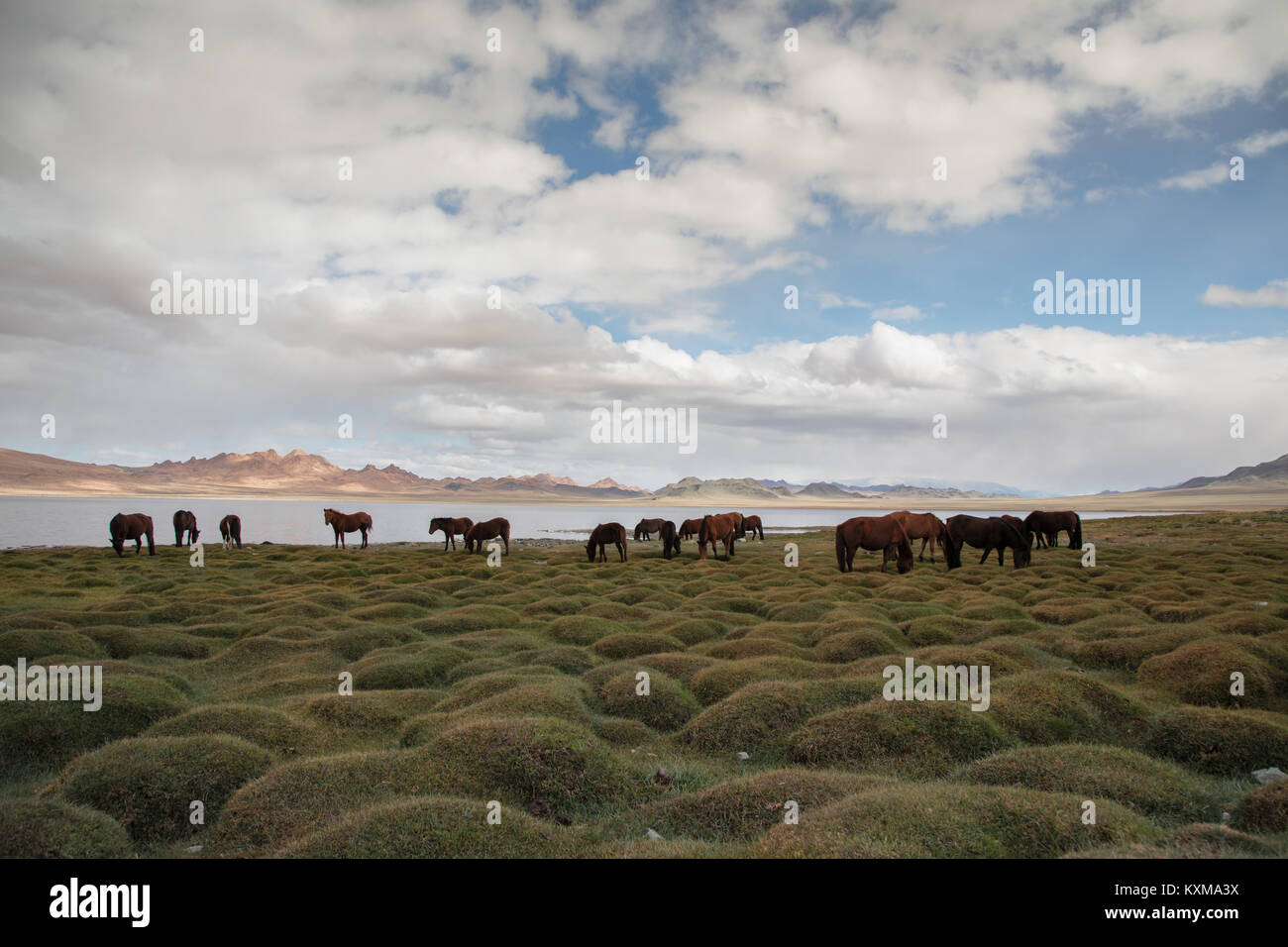 Mongolia lake horses grazing grass - Stock Image