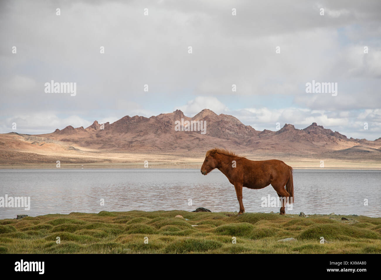 Mongolian horse thinking about horse things by the lake - Stock Image