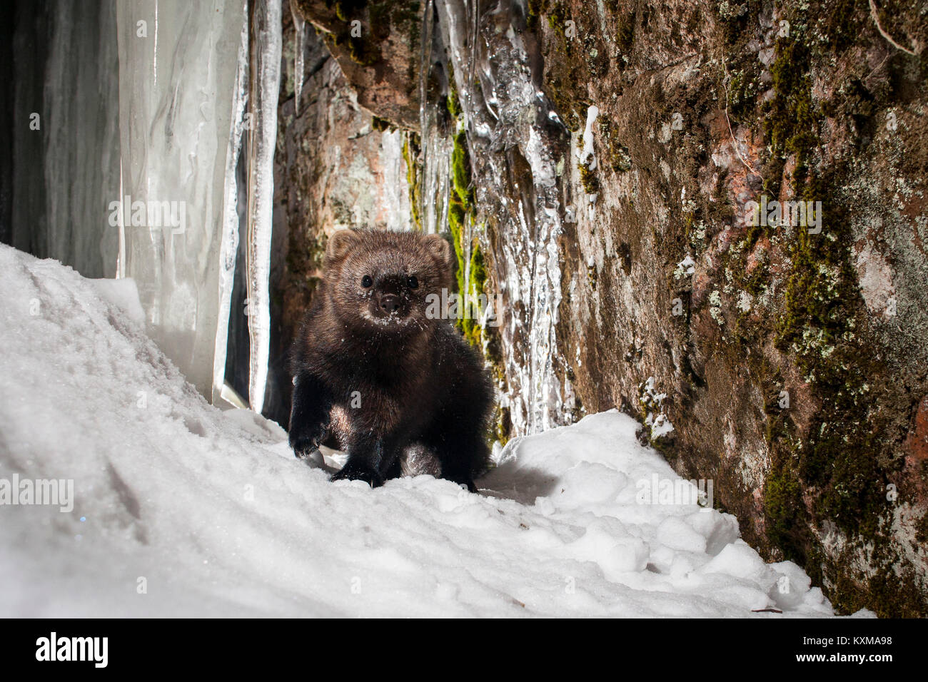 MAYNOOTH, HASTINGS HIGHLANDS, ONTARIO, CANADA - January 10, 2018: A fisher (Martes Pennanti), part of the weasel - Stock Image