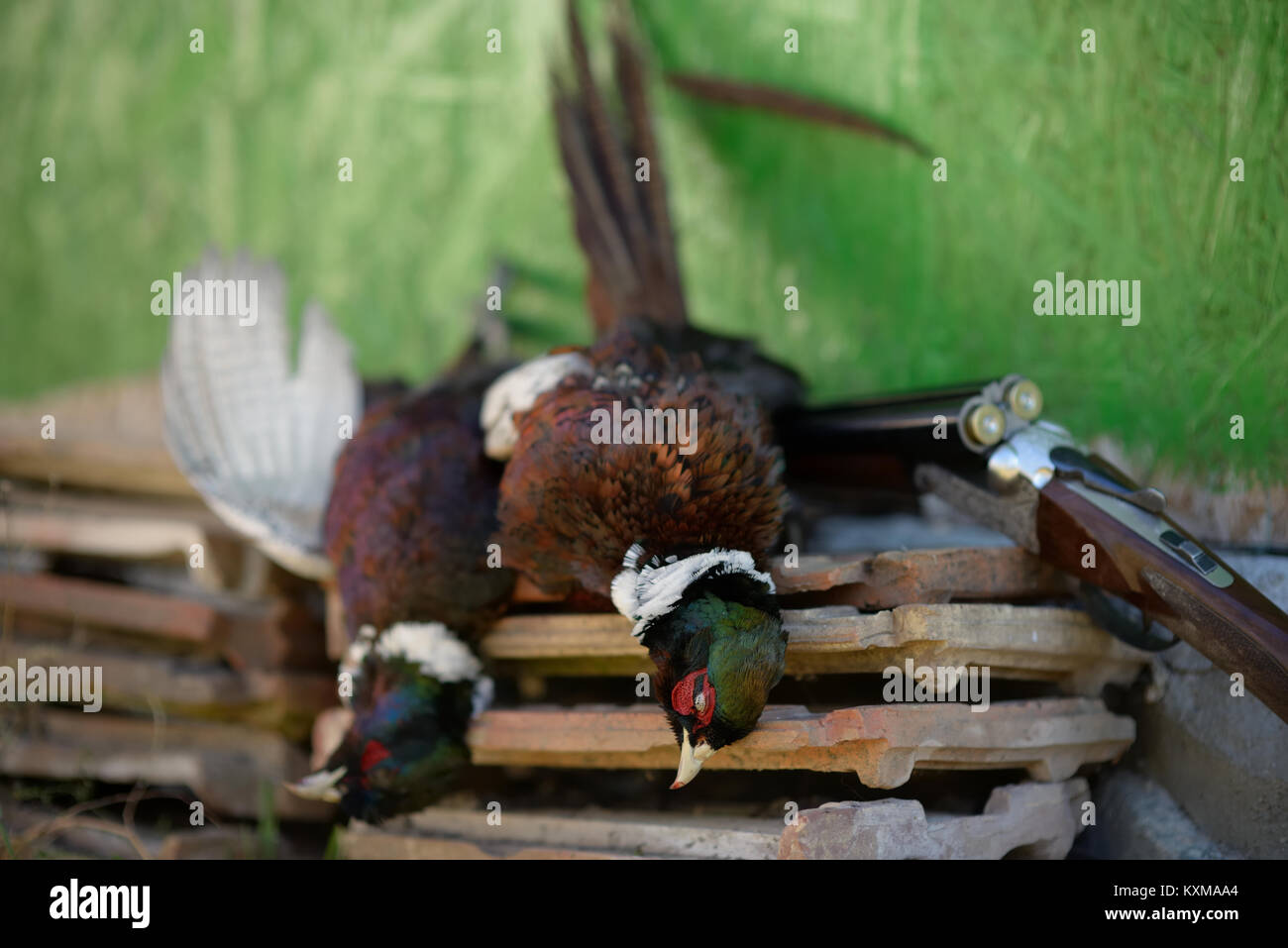 Hunting scene with a two pheasants and a shotgun. - Stock Image