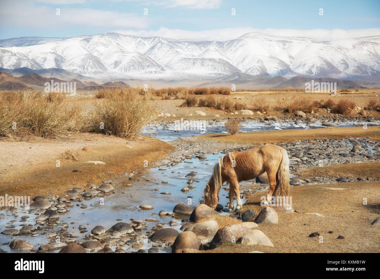 Mongolian blonde horse drinking from river Mongolia steppes grasslands snowy mountains winter - Stock Image