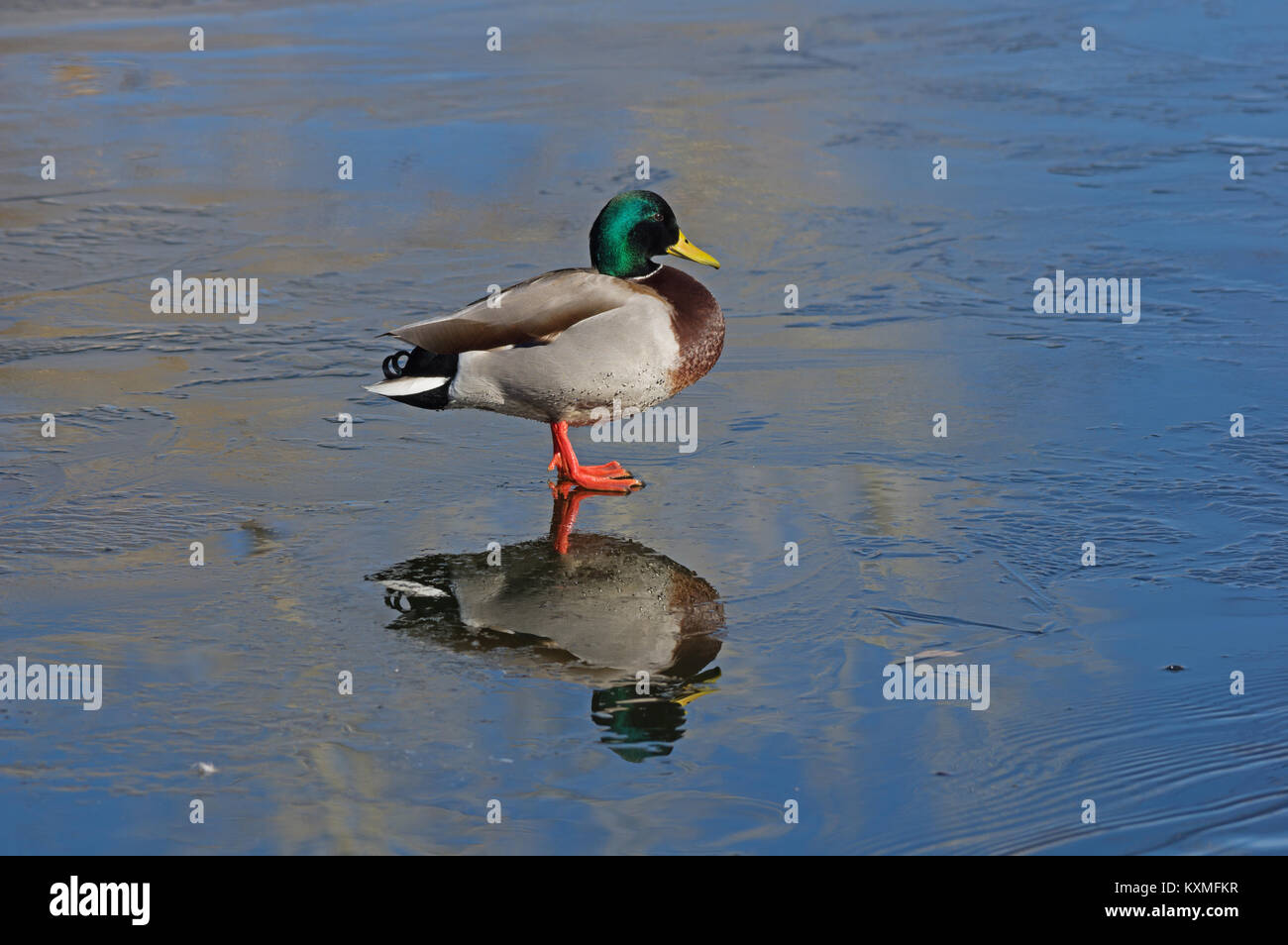 male mallard duck standing on thin ice with reflection - Stock Image