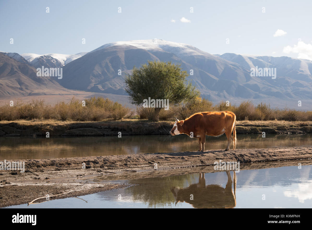 Mongolian cow resting river sand bank snowy mountains Mongolia - Stock Image