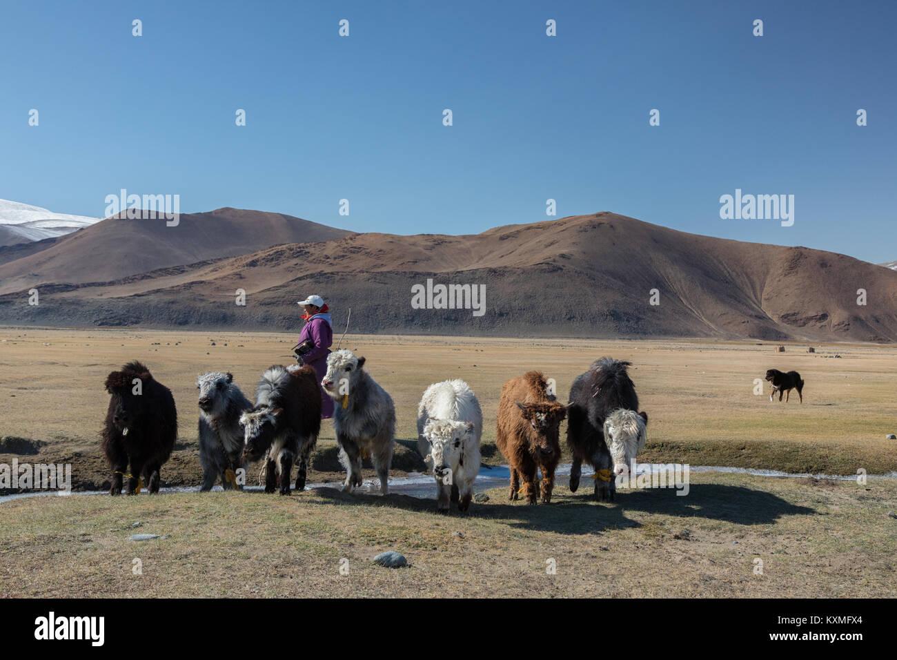 Mongolian black and white yaks dog shepherd woman herder Mongolia winter steppes grasslands plains - Stock Image