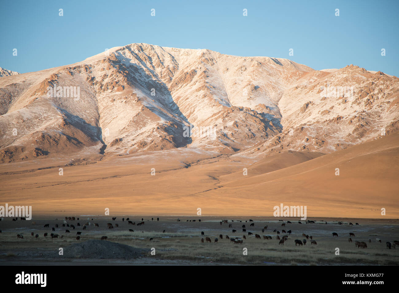 Goat herd herding sunset winter Mongolia steppes grasslands snowy mountains landscape - Stock Image