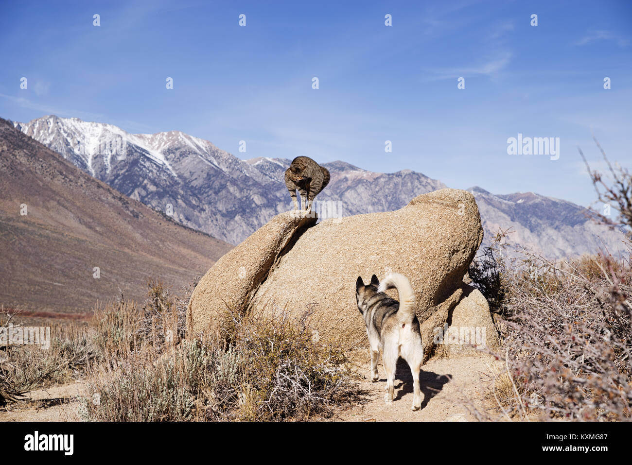 a cat on a rock puffs up and hisses at a dog below it in the desert - Stock Image