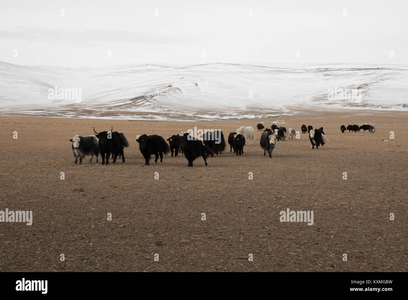 Mongolian black and white yaks Mongolia winter steppes grasslands plains snowy mountains - Stock Image