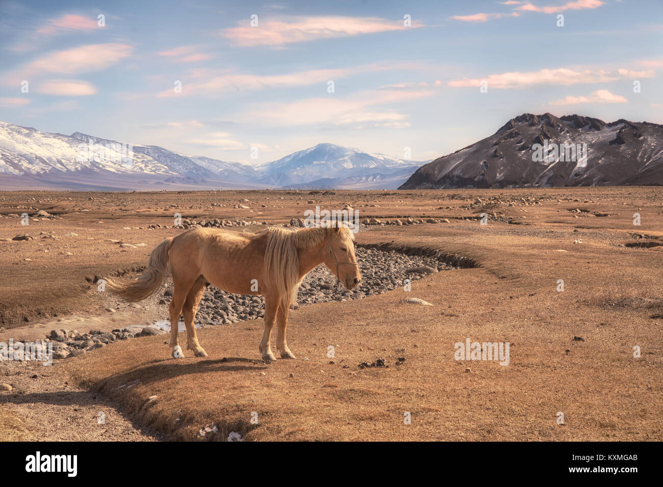 Mongolian blonde horse Mongolia steppes grasslands snowy mountains winter - Stock Image