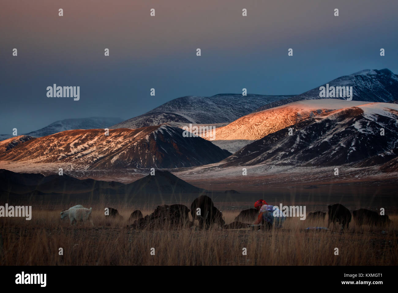 Woman goat shepherd collecting dung for fireplace sunset winter Mongolia steppes grasslands mountains herding herd - Stock Image