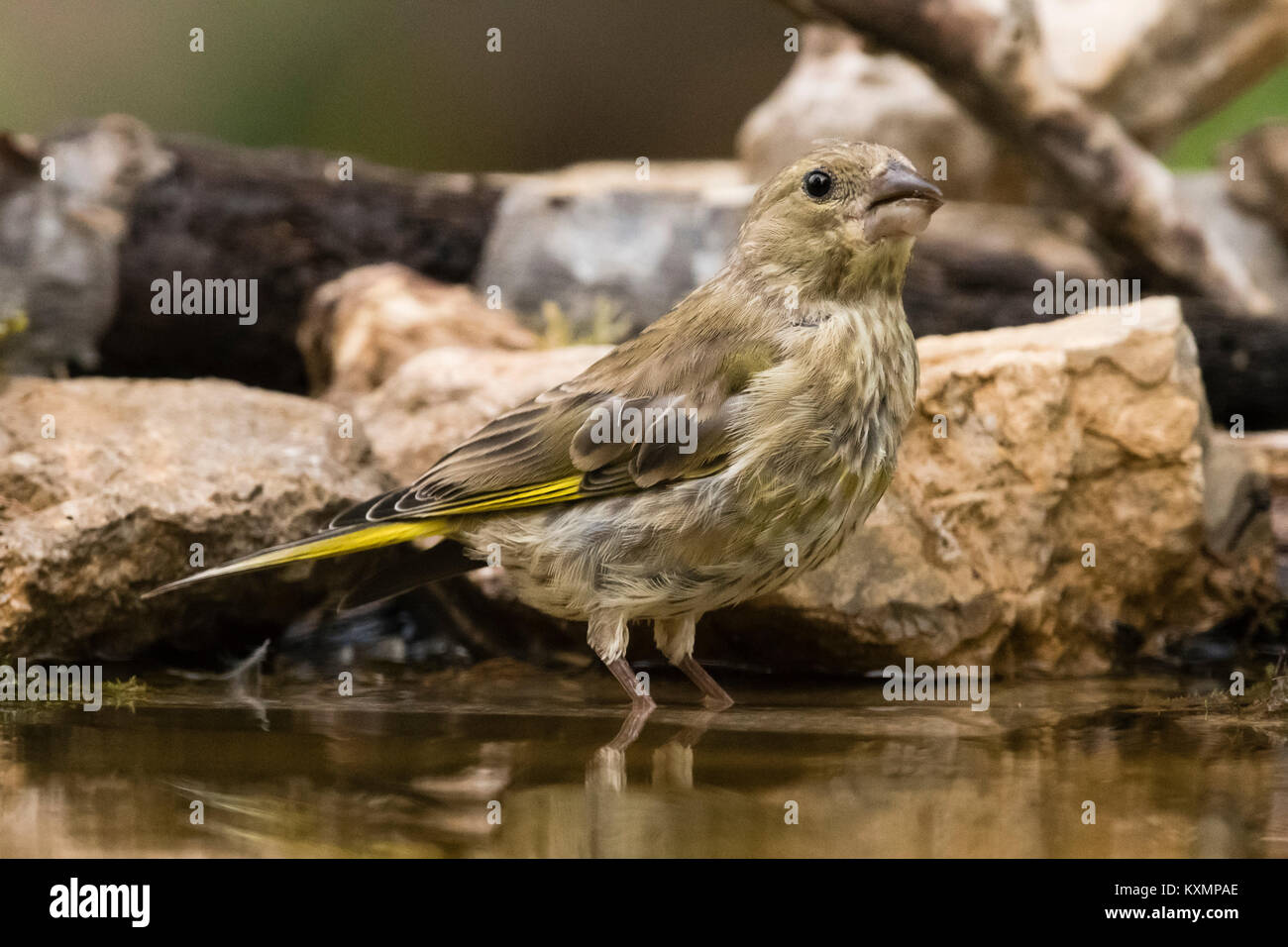 Greenfinch (Carduelis chloris) standing in watering hole,Slovenia Stock Photo