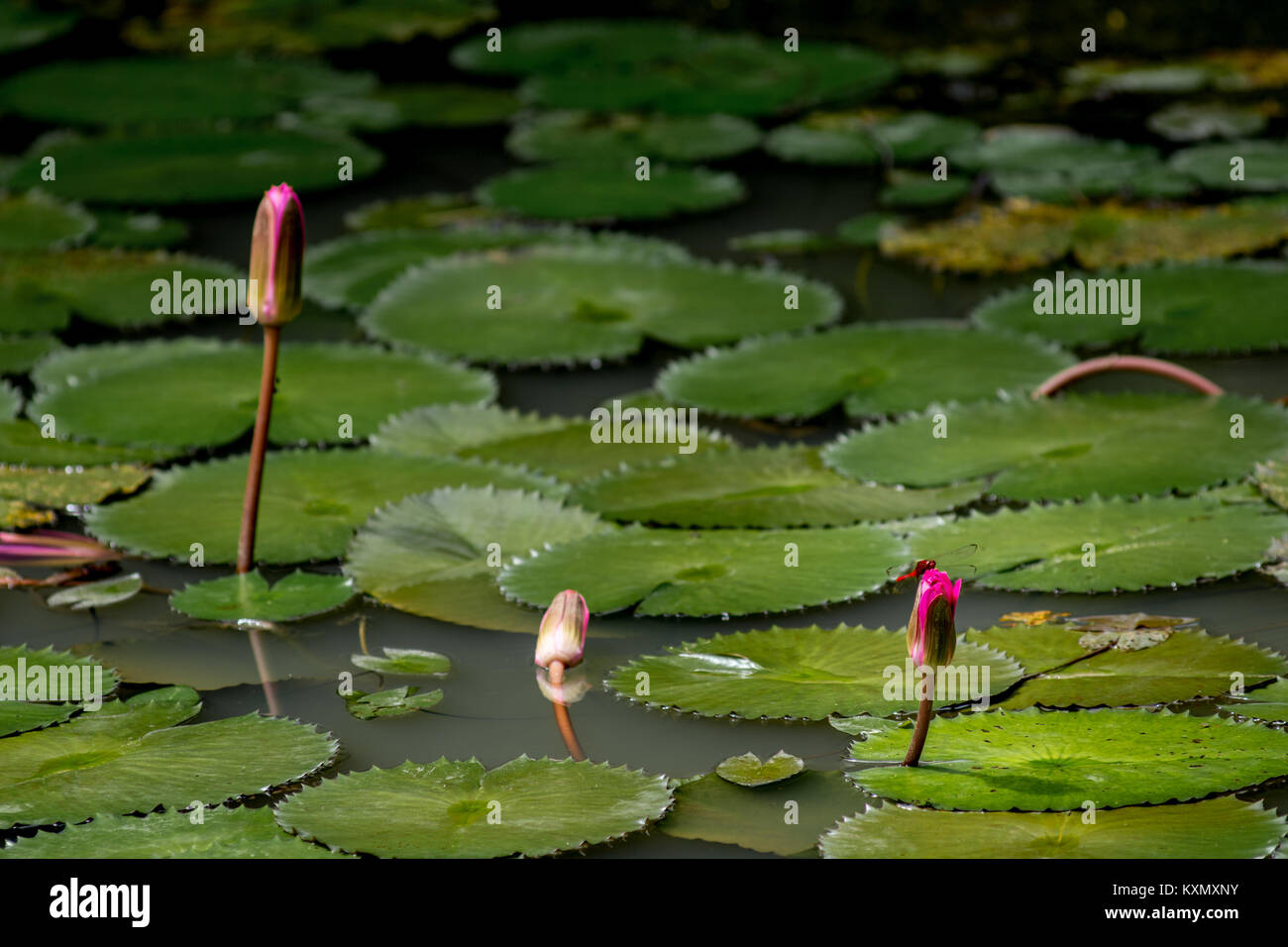 Dragon lily stock photos dragon lily stock images alamy three closed water lily flowers in a lily pond with a red dragon fly landed on izmirmasajfo