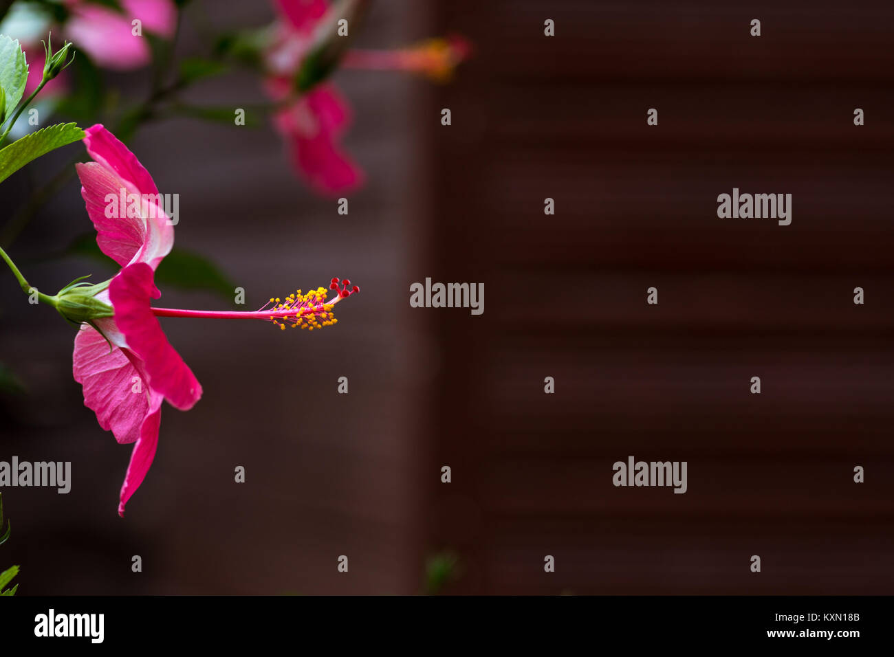 Close up side on view of Pink petal flower with exposed protruding style blurred background with copy space. - Stock Image