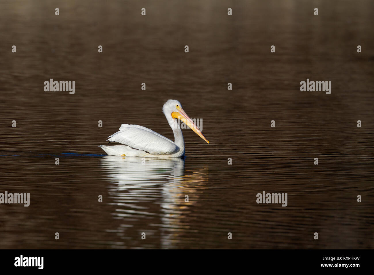 White Pelican on Brown Water - Stock Image