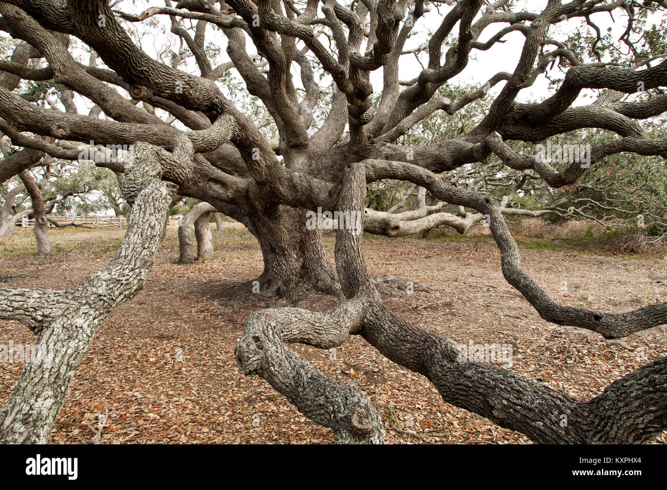 Southern Live Oak tree  'Quercus virginiana',  reaching branches. - Stock Image