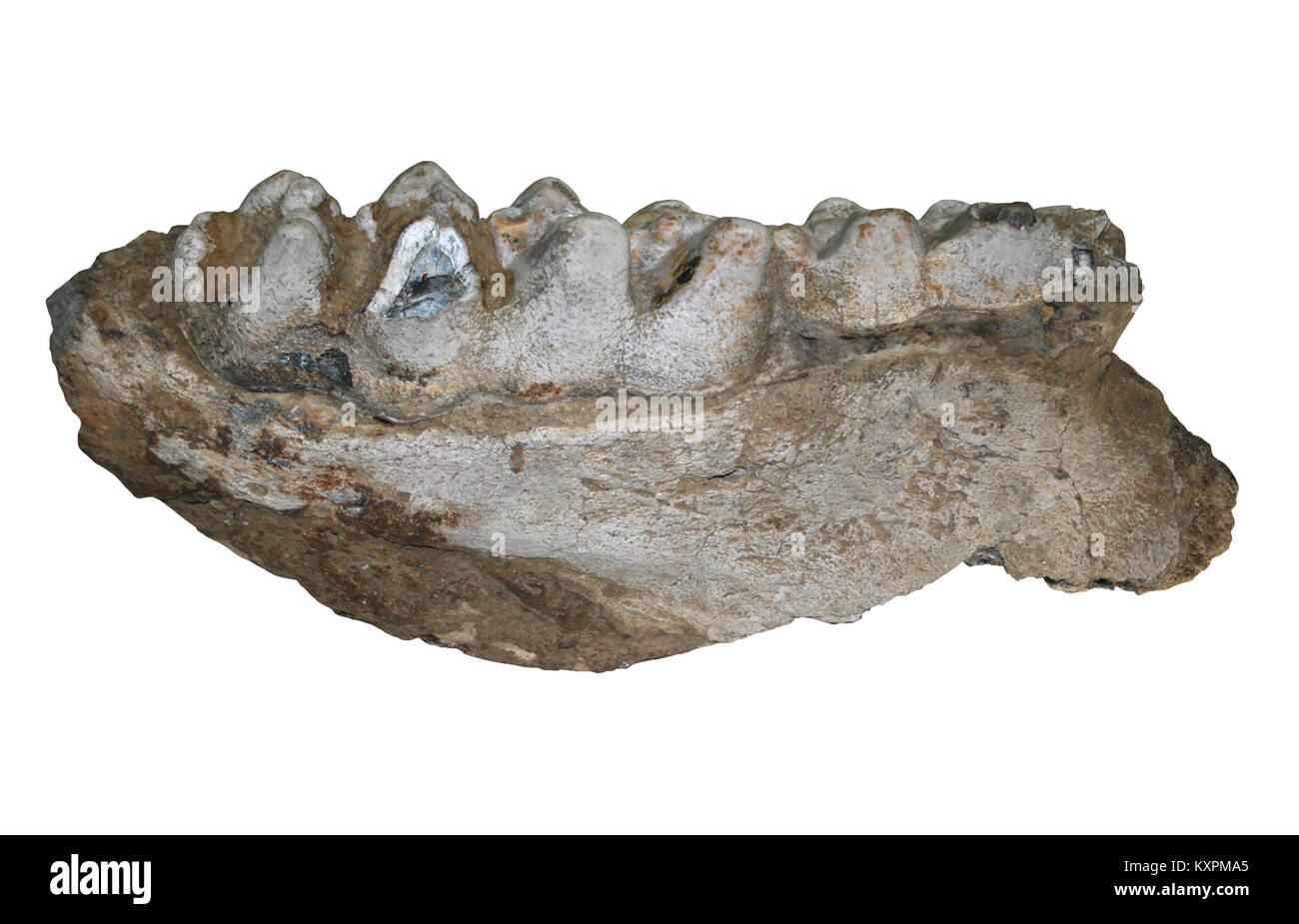 Mandibular And Teeth Of The Extinct Gomphothere Cuvieronius hyodon Relative Of Modern Day Elephants - Stock Image