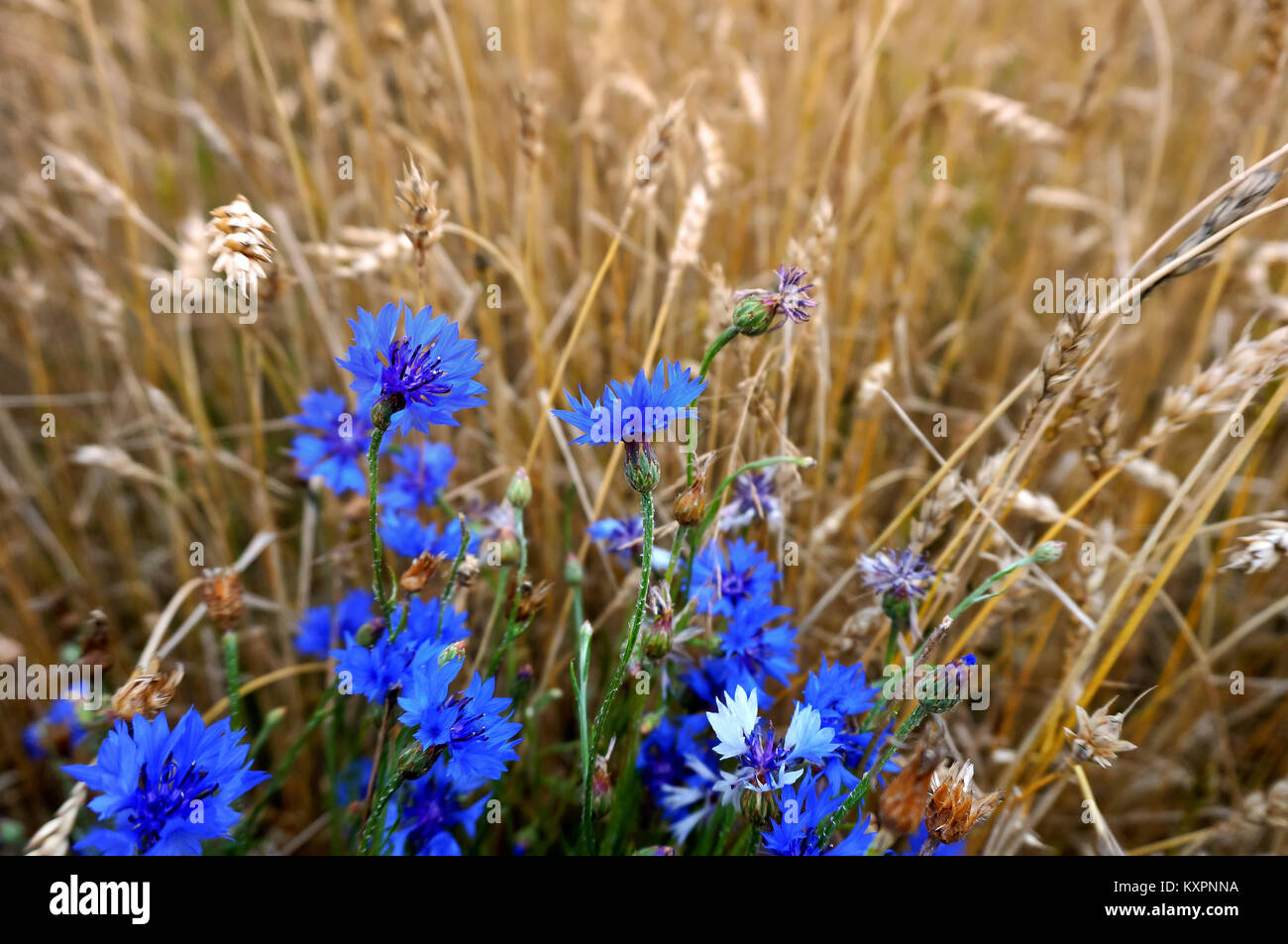 a field of blue cornflowers between the ears, blue cornflowers among the yellow ears of corn - Stock Image