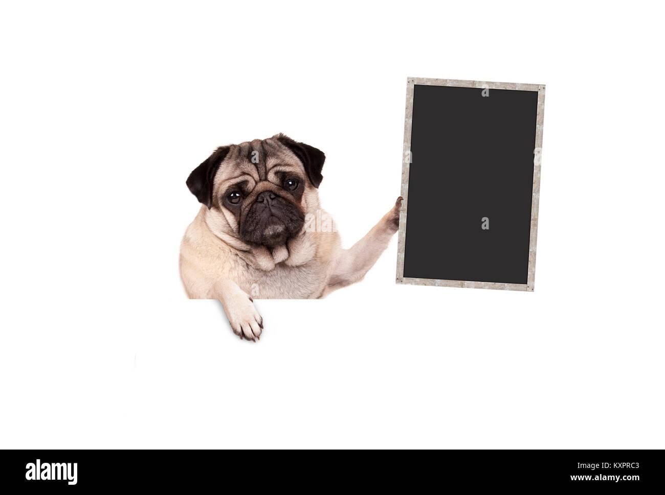 pug puppy dog holding up blank blackboard sign, hanging on white banner, isolated - Stock Image