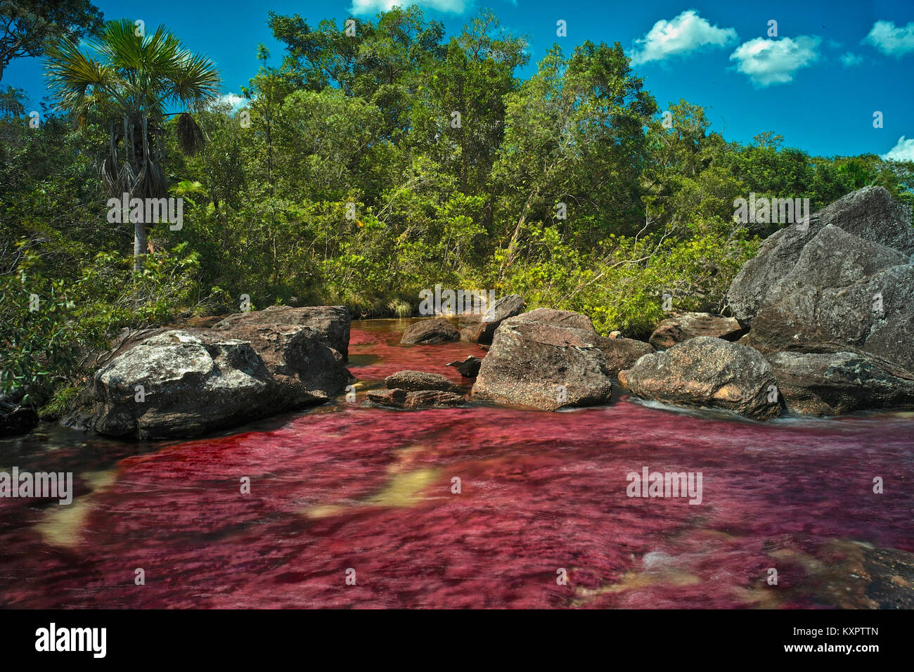 Colorful endemic freshwater red plants known as macarenia clavigera create colorful natural tapestries at the Red - Stock Image