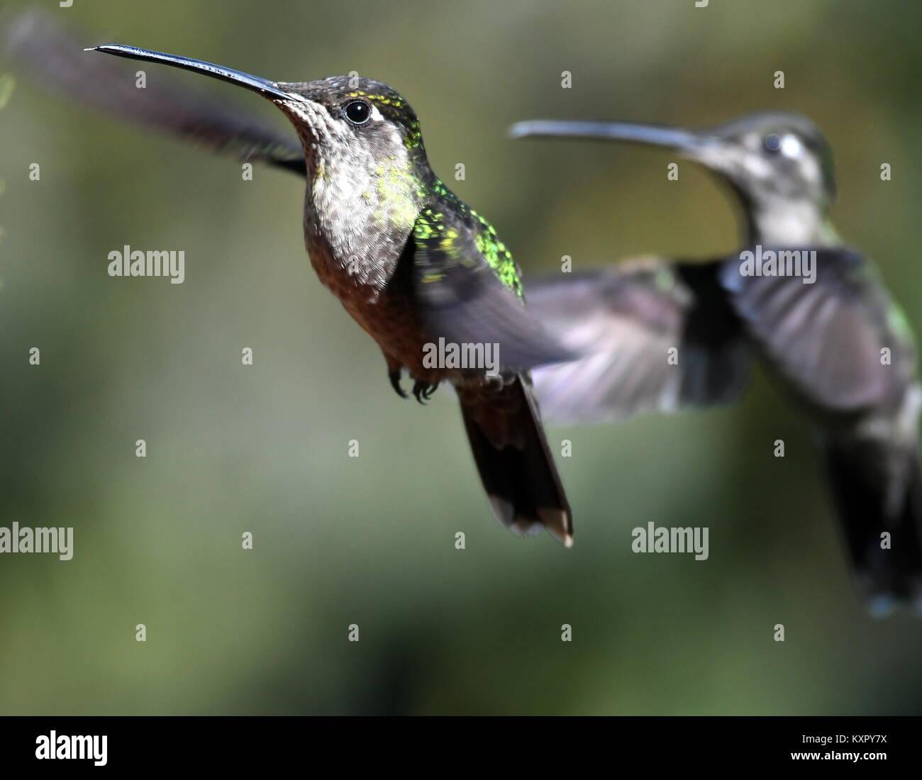 Male Magnificent hummingbird (Eugenes fulgens) in Costa Rica Stock Photo