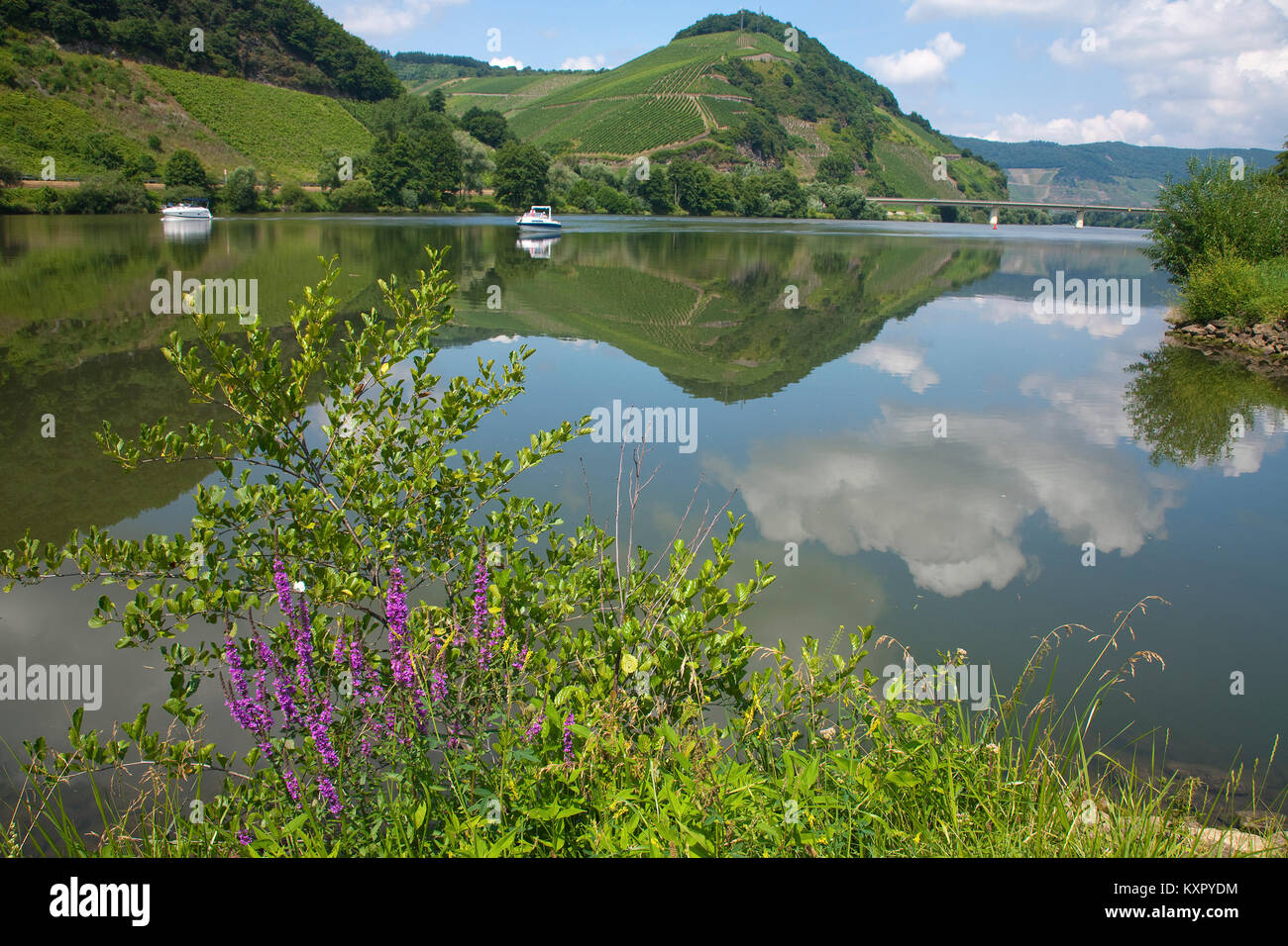 Motor boats on Moselle river, shore with wild flowers, Neumagen-Dhron, Moselle river, Rhineland-Palatinate, Germany, - Stock Image