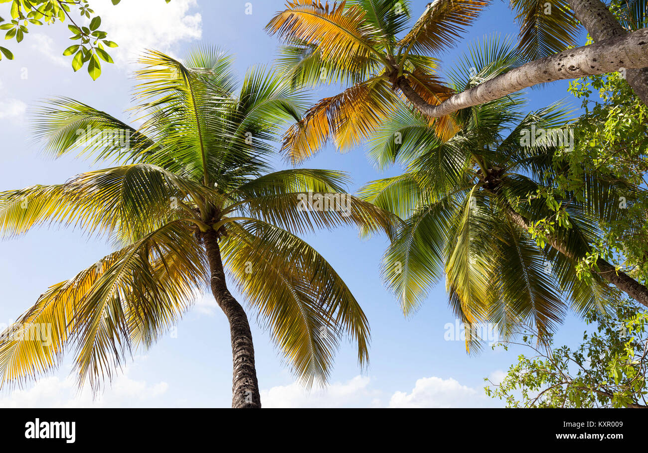 View of palm trees from below, Martinique island. - Stock Image