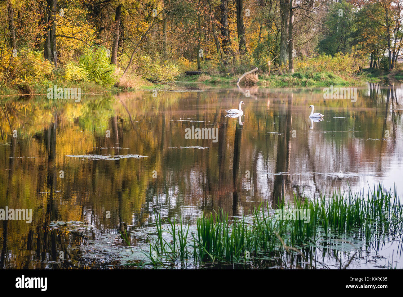 Swans on a pond in Brochow village, Sochaczew County in Masovian Voivodeship of Poland - Stock Image