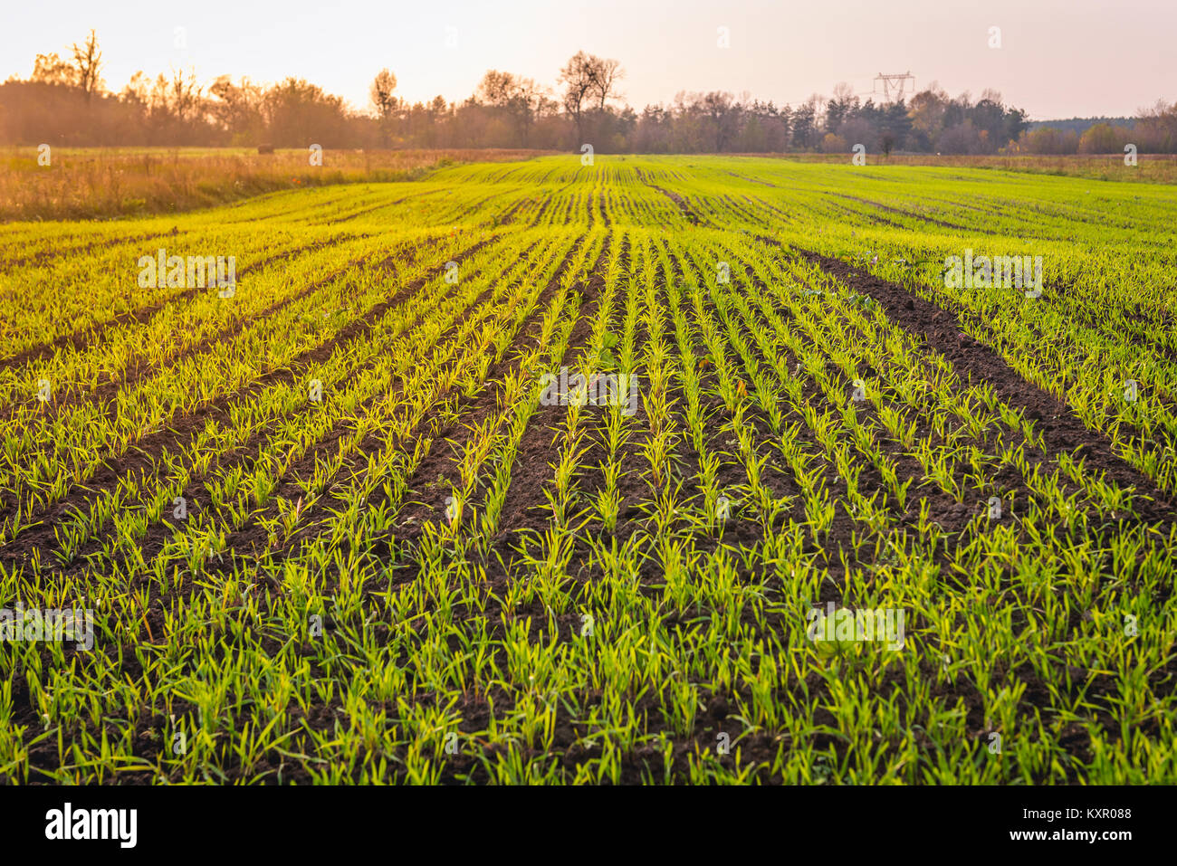Winter cereal field in Brochow village, Sochaczew County in Masovian Voivodeship of Poland - Stock Image