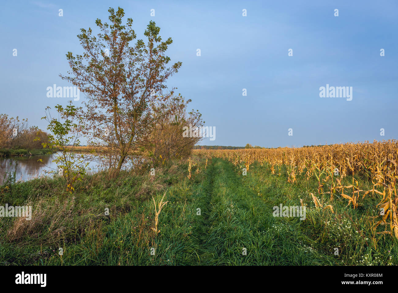 Corn fields over Bzura River in Witkowice village, Sochaczew County in Masovian Voivodeship of Poland - Stock Image