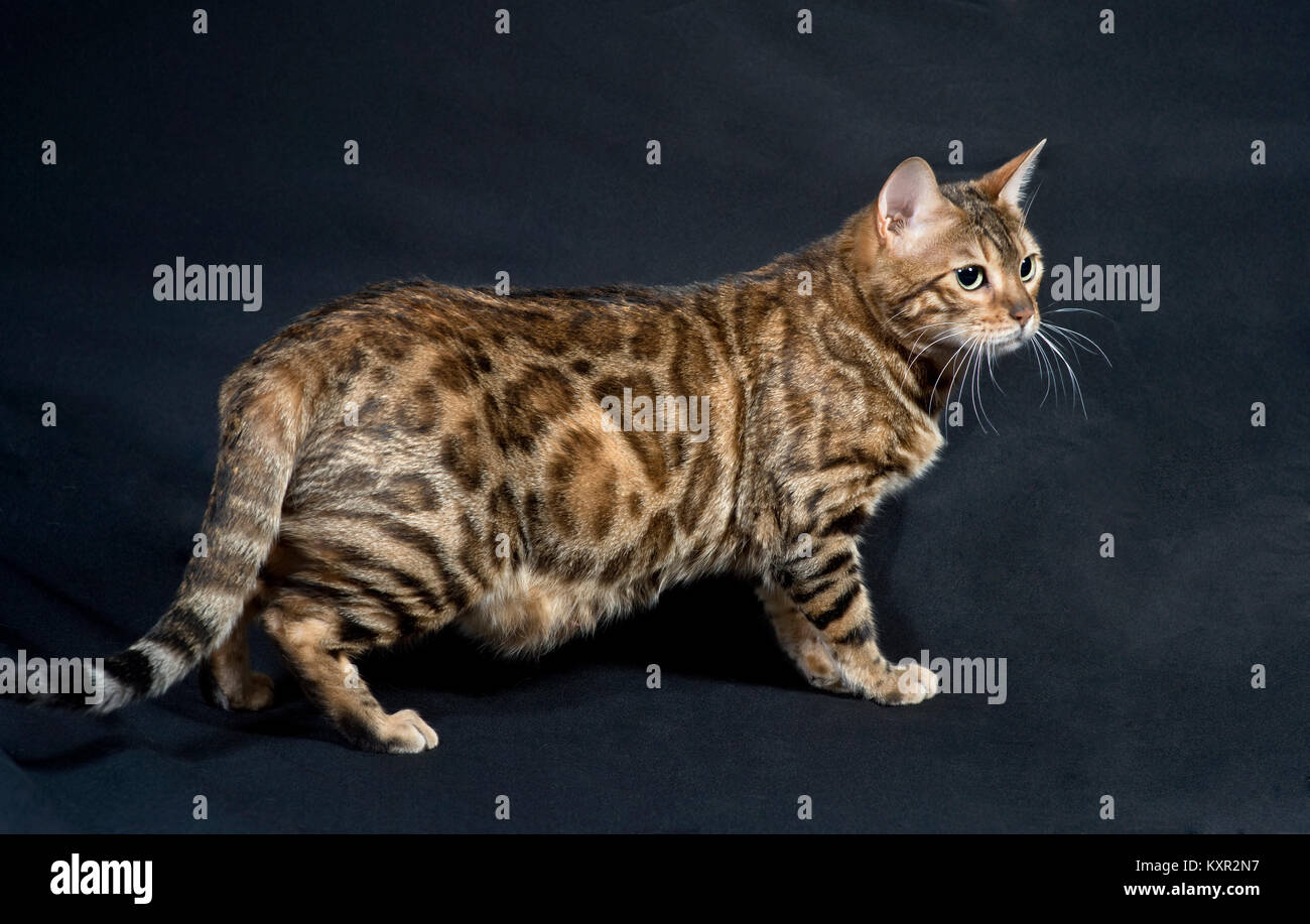 Purebred Bengal cat standing on a black background  from