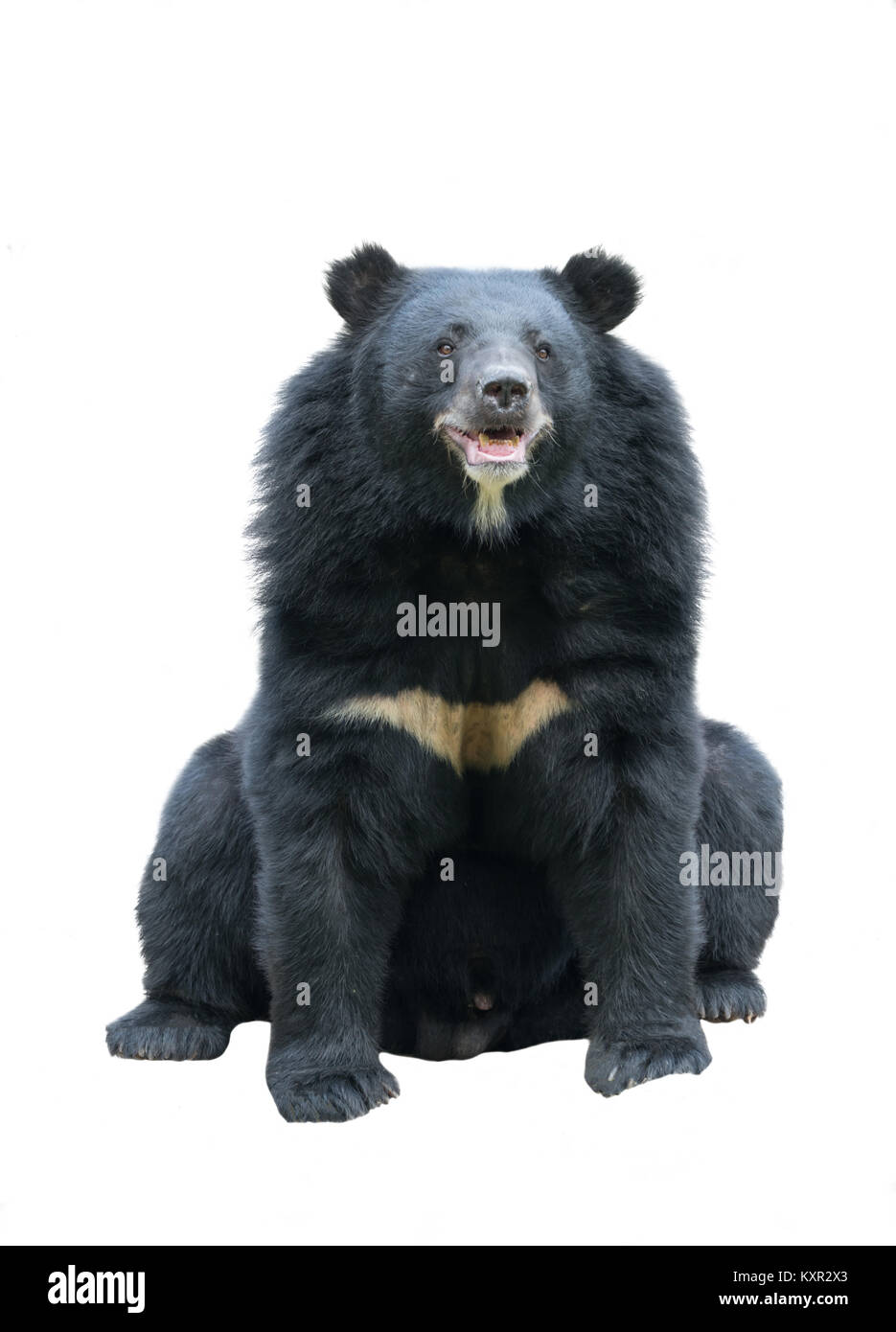 adfecc84471 Black Bear Cut Out Stock Images   Pictures - Alamy