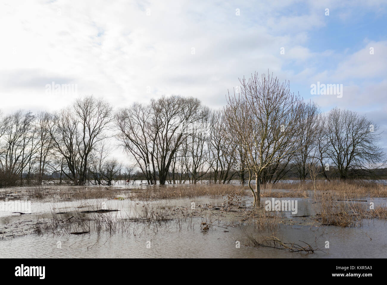 High water level at river Maas with flooded flood plains and drowned trees at Arcen, Netherlands Stock Photo