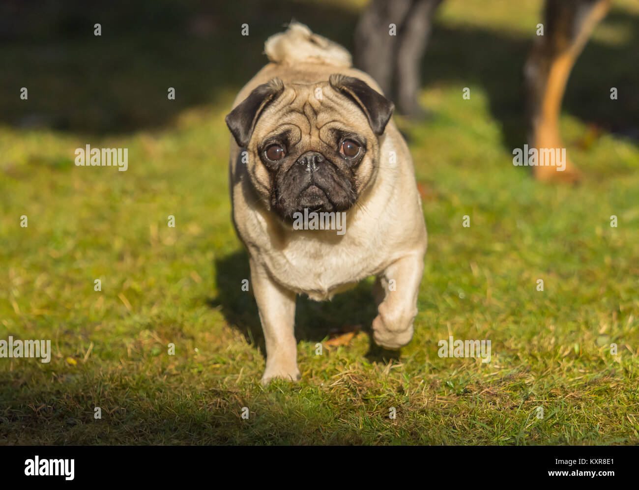 A beautiful pug stands in the meadow - Stock Image