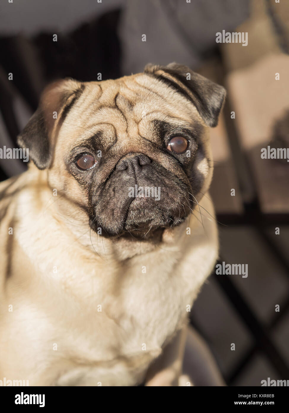 A portrait of a beautiful pug, only the head - Stock Image