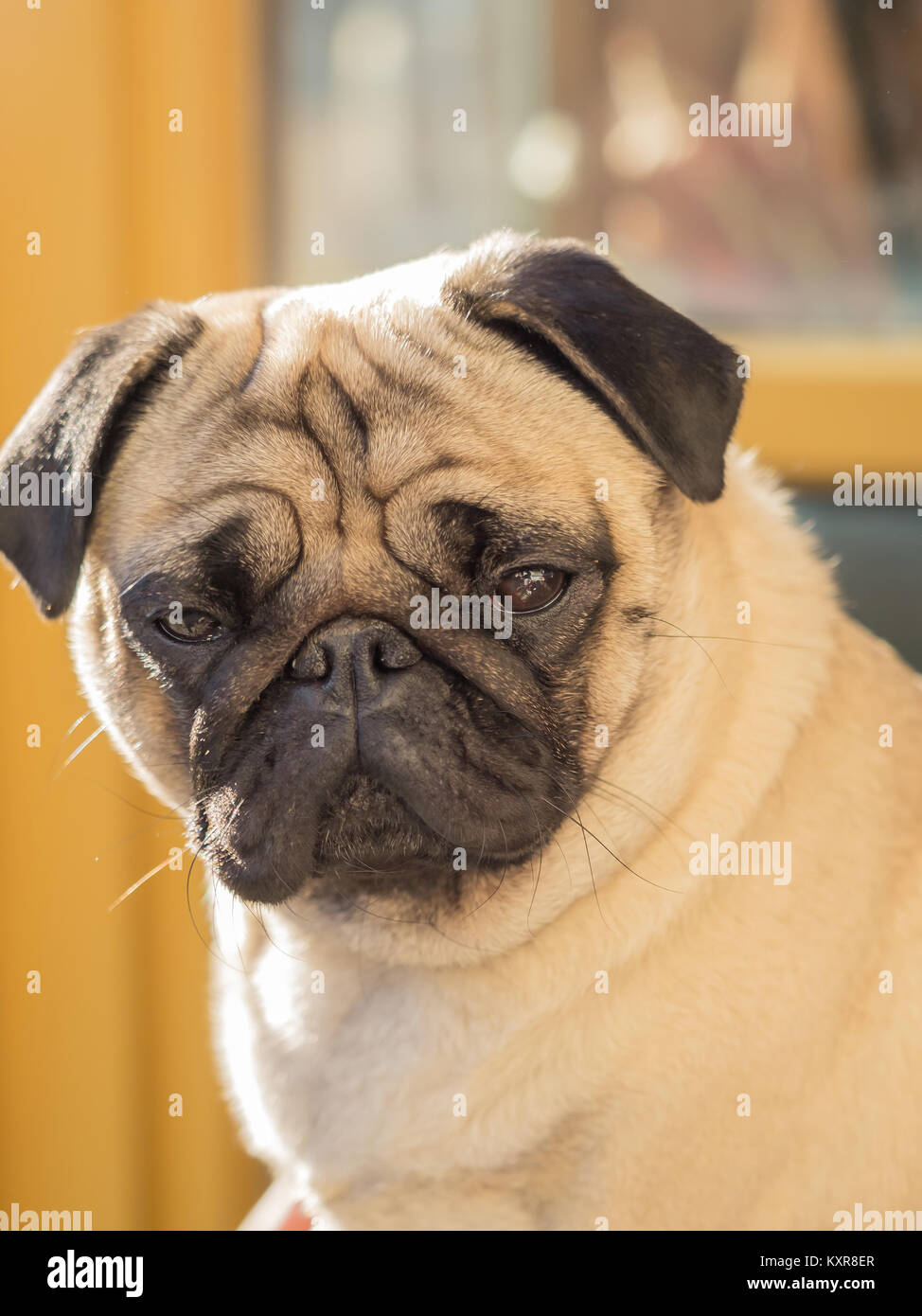 A portrait of a beautiful pug, only the head Stock Photo