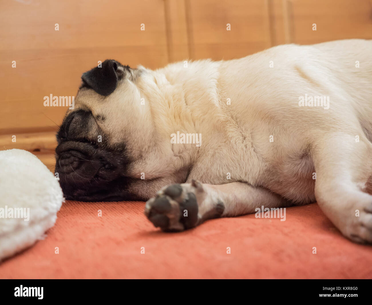 A pug is lying on the corner bench and is sleeping - Stock Image