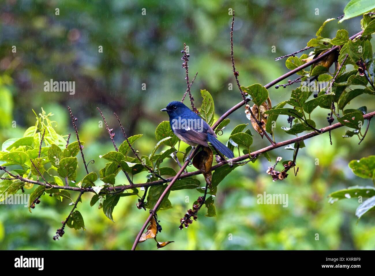 Madagascar Magpie-Robin (Copsychus albospecularis pica), Ranomafana N.P. Madagascar. - Stock Image
