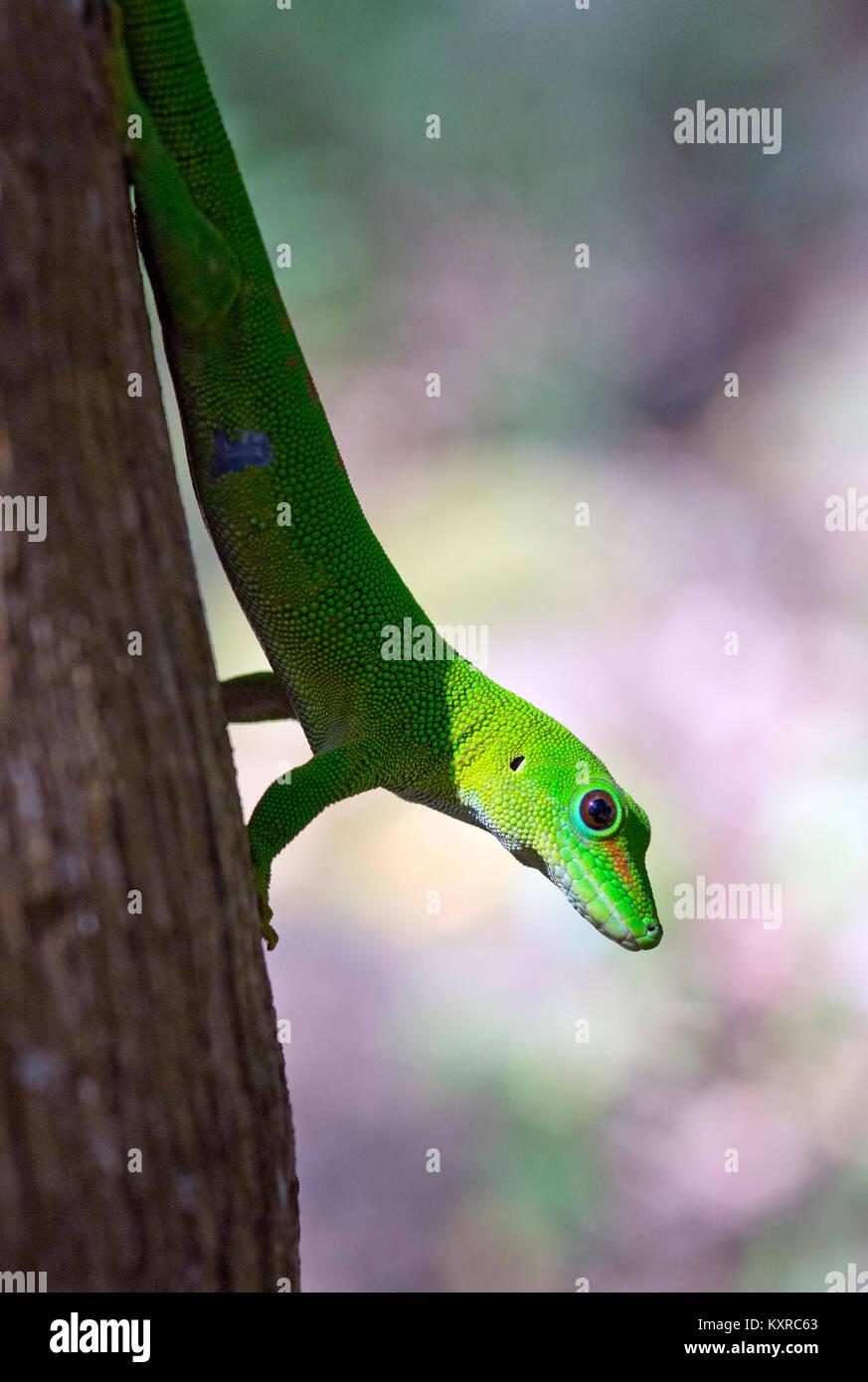 Madagascar Day Gecko - Phelsuma madagascariensis, Gekkonidae, Madagascar, Africa - Stock Image