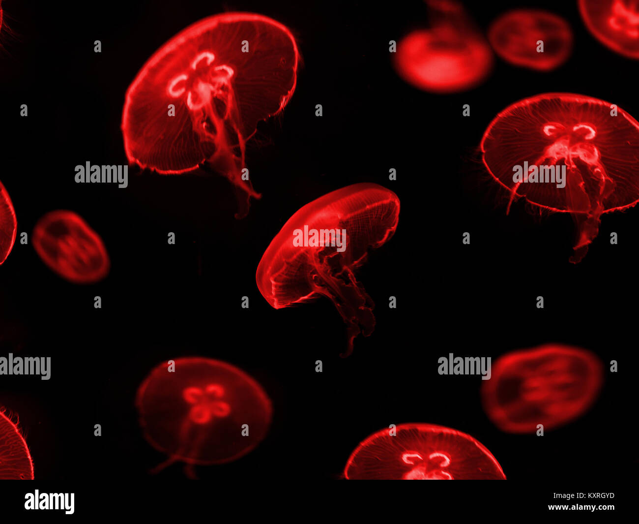 red jellyfish on black background - - Stock Image
