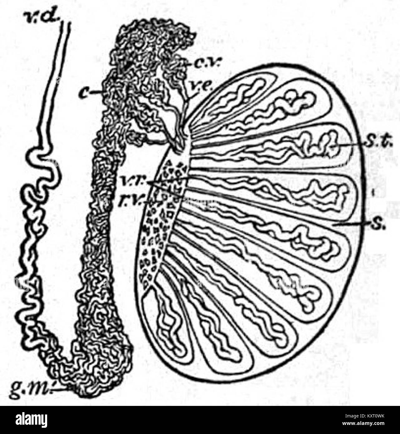 Eb1911 Reproductive System In Anatomy Testis And Epididymis Stock