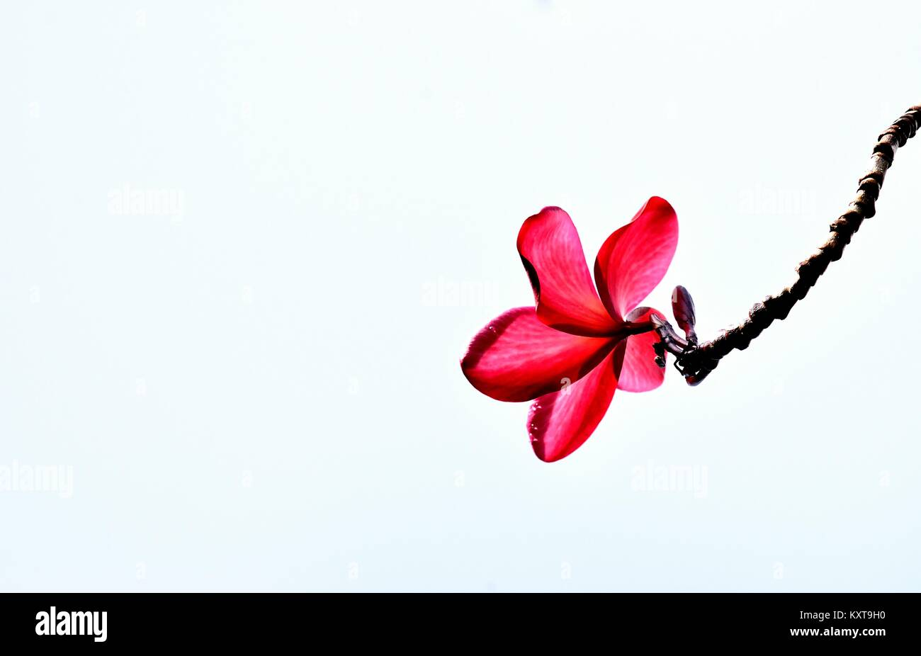 A single red frangipani or plumeria blossom  in sunlight isolated against a white wall - Stock Image